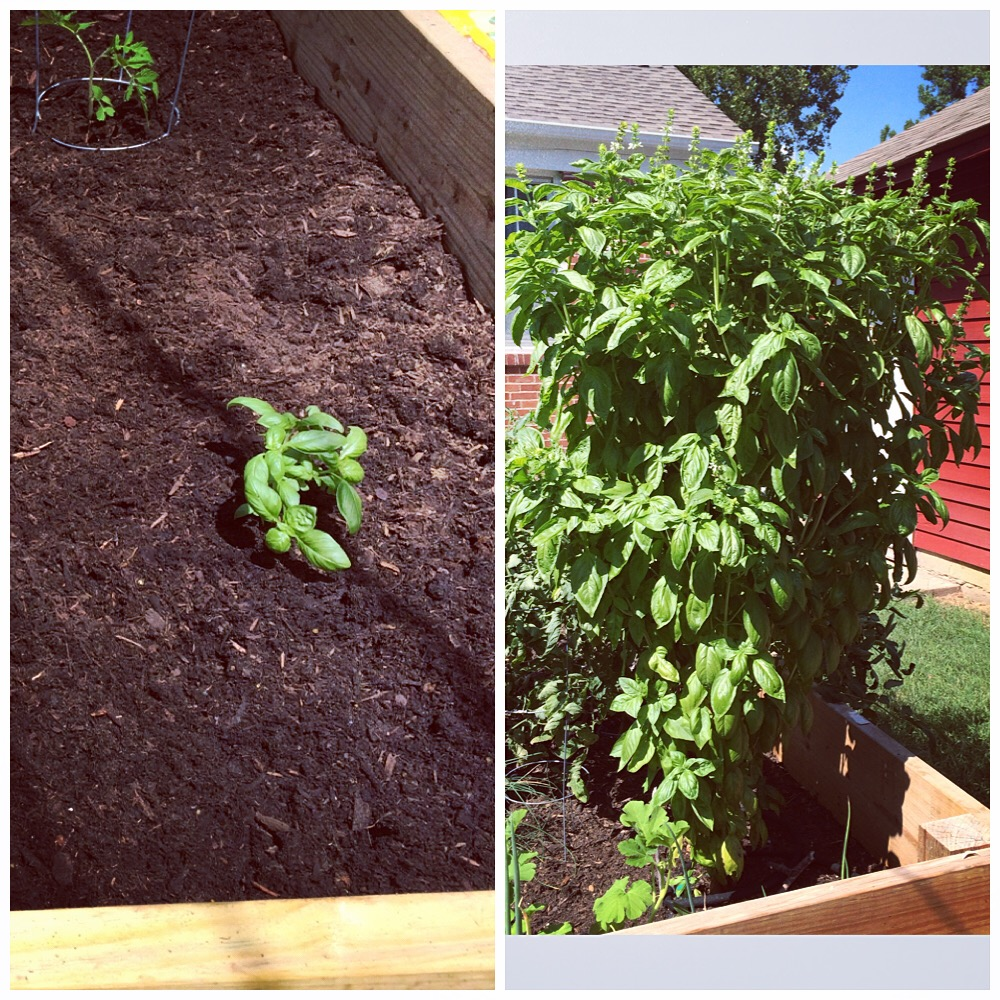 Basil Plant: Before and After!